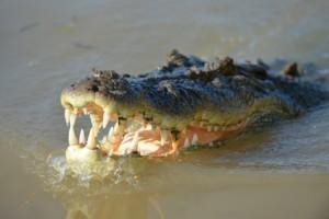crocodile-1402089_1280