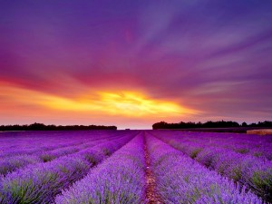 lavender-fields-in-Provence_travel_lavender-fields_trip_Provence_hottrip-net.jpg